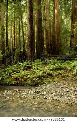 Forest of Coastal Redwoods, the tallest trees on earth, taken in Muir Woods, California