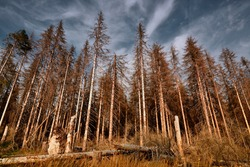 Forest of dead trees. Forest dieback in the Harz National Park, Lower Saxony, Germany, Europe. Dying spruce trees, drought and bark beetle infestation, late summer of 2020.