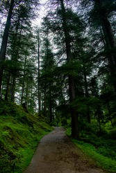 Forest of devdar tree with dark and moody tone with scenic view, Empty path.