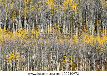 Forest of Fall aspen trees background pattern texture