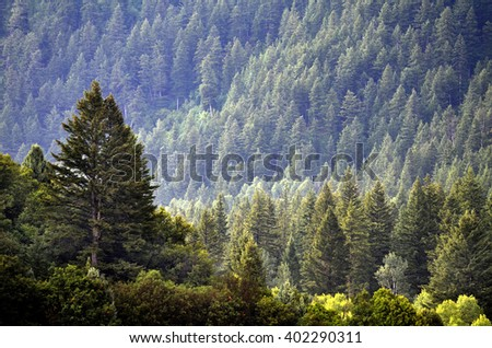 Forest of green pine trees on mountainside with late afternoon sunlight #402290311