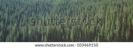 Forest of Pine Trees, Colorado