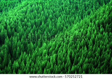 Forest of pine trees in wilderness mountains rugged #570252721