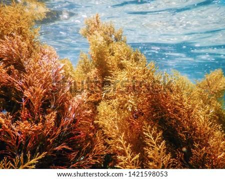Forest of Seaweed, Seaweed Underwater, Seaweed Shallow Water near surface