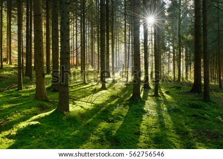 Forest of Spruce Trees illuminated by Sunbeams through Fog, a Carpet of Moss covering the forest floor