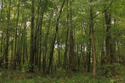 Forest of Summer Trees in Middle Tennessee