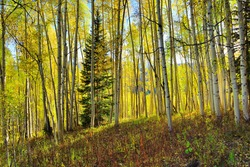 forest of tall yellow and green aspen during foliage season at Kebler and Ohio Passes in Colorado