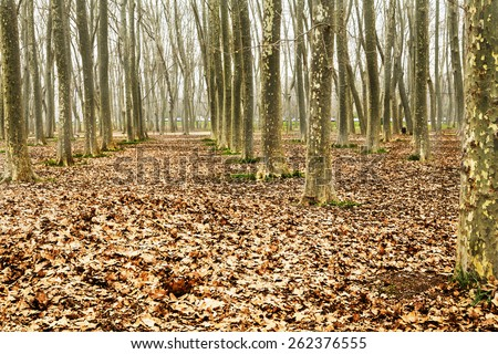 Forest park with tall trees in a row in a winter landscape. Ground full of red dry leaves and a foggy cloudscape.