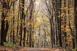 Forest path, surrounded by broad leaved trees in their yellow fall autumn colors, in the Fruska Gora Woods, a park in Voivodina, in Serbia.