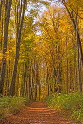 Forest Path Through Arching Trees in the Autumn in the Louis M Groen Nature Preserve in Michigan