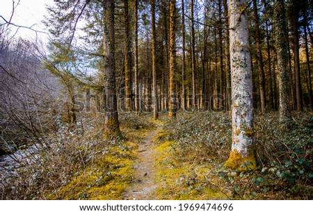 Forest path through the trees. Pinewood forest trail. Trail in pin tree forest. Pinewood trail