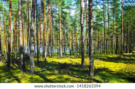 Forest pine trees background view. Pine tree forest. Pine trees background. Pine trees forrest background #1418263394