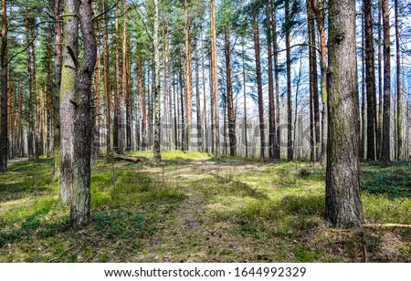 Forest pine trees in spring. Pine forest landscape. Forest scene. Spring forest