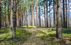 Forest pine trees in spring woods