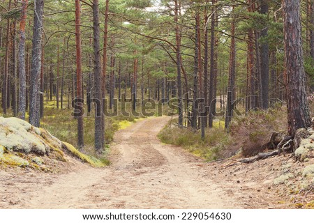 Forest road going through pine forest