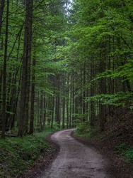 Forest road in spring in the Alps, in cloudy weather with fresh leaves.