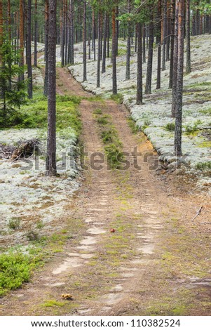 Forest road in the pine forest