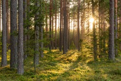 Forest scene with mossy ground in sunny evening in summer in Latvia