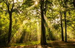Forest sunbeams in morning time. Sunbeams forest trees. Sunbeams in morning forest. Forest sunbeams
