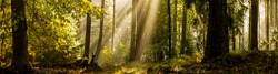 Forest sunbeams morning panoramic landscape. Panorama of forest sunbeams. Forest sunbeams panorama. Sunbeams in forest panorama