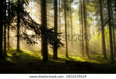 Forest sunbeams trees. Sunbeam forest in morning scene. Sunbeams forest view. Forest sunbeams trees