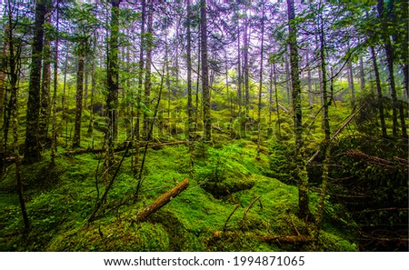 Forest thicket in a dense woods. Mossy forest trees. Mossy forest background. Forest green moss