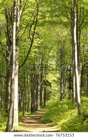 Forest trail among the beech trees on a sunny May morning.