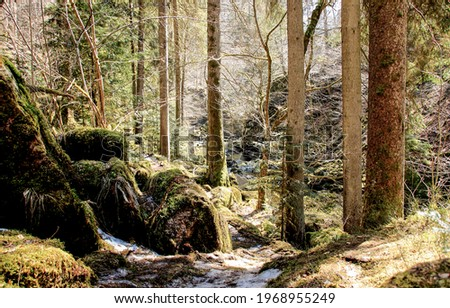 Forest trail in the pinewood. Trail in pine forest. Pine forest trail view. Forest trail