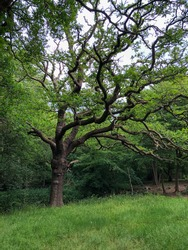 Forest Tree in Epping Forest Background, London