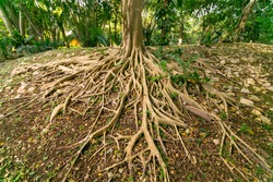 Forest tree trunk with messy roots on wet ground after rain, monsoon jungle trail in tropical rainforest nature background. Massive tree roots in the forest path