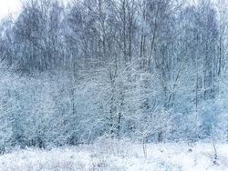 Forest trees are covered with snow blizzards. Snow blizzard. Forest deciduous trees. Winter season. Merry Christmas. Christmas holidays. Weather. Natural landscape. Landscape. Fono.