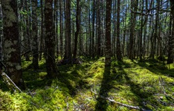 Forest trees background. Wilderness mossy forest. Deep dark forest background. Mossy forest trees