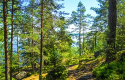 Forest trees in sunny day. Forest trees in green. Green forest trees