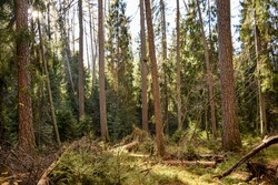 Forest trees in sunny day. Wilderness forest trees view