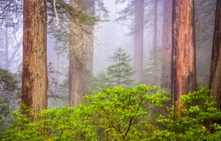 Forest trees in the fog. Misty forest view. Forest mist background. Misty forest tree trunks