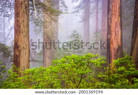 Forest trees in the fog. Misty forest view. Forest mist background. Misty forest tree trunks Foto d'archivio ©