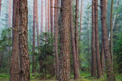 Forest. Trees in the forest. Trunks of fir in the coniferous spring forest.