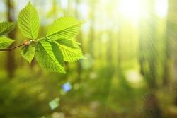 forest trees leaf. nature green wood sunlight backgrounds. spring, summer