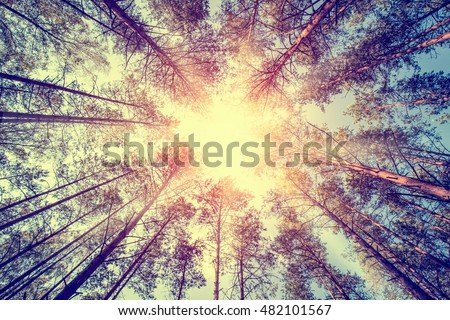 forest trees pine growth retro vintage straight cedar woodlands sunlight - stock image