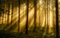 Forest trees sunbeams in morning. Sunrise sunbeams in forest. Forest sunrise sunbeans. Morning in forest