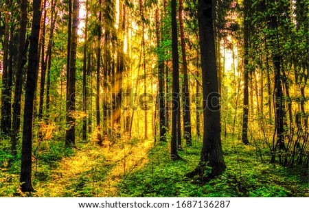 Forest trees sunrise rays. Forest in morning sunrise rays shadows. Sunrise in morning forest