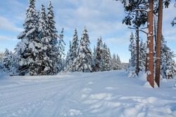 Forest views in Yellowstone National Park in snow