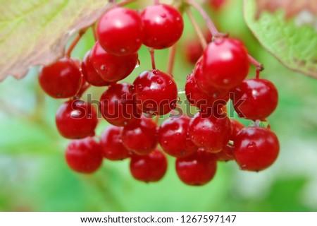 forest wild berry #1267597147