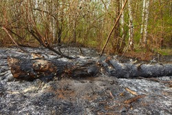 Forest wildfire. Burning field of dry grass and trees. Wild fire due to hot windy weather. Ashes of the burnt grass. Close up burned dry grass on the field. Ecological problem