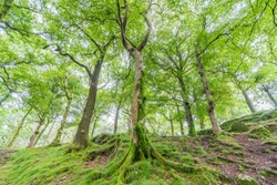 Forest with mossy trees in North Wales, UK, near Dolbadarn Castle at the base of the Llanberis Pass.