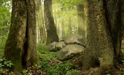 Forest with old trees, stones, mist
