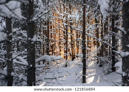 Forest with pine trees and snow at sunset