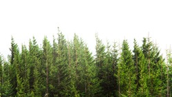 forest with pine trees isolated on white background
