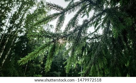 Forest, woodland, beautiful forest, spruce, fir, fir tree  #1479972518