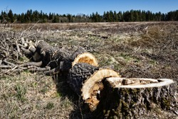Forestry. Sawing wood with power saw. This rotten aspen is cut on spot (logging site) into poppet (short logs, lump wood) for firewood. This area is cleared of forest for construction, deforestation